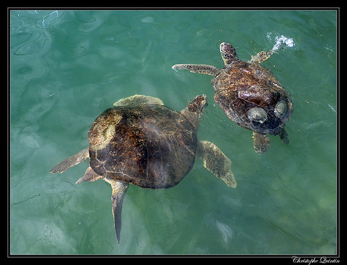 2 permanent residents at Marathon turtle hospital (Chelonia mydas)