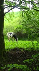 Peaceful (buidl-lemmy) Tags: cow kuh grün green may forest meadow wald wiese