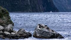 Seals basking on the rocks (milo42) Tags: 2014 new zealand milford httpwwwloveoflandscapecom httpwwwchrisnewhamphotographycouk south island boat location mountain lake sound milfordsound newzealand southisland fiordlandnationalpark southland nz