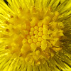 Coltsfoot - Tussilage farfara (monteregina) Tags: file:name=nb201304259219 coltsfoot compositae tussilago tussilagofarfara plantae plants printemps québec canada macro plantes sunflowerfamily monteregina jaune yellow nature flora sunny petals pétales tussilage pieddecheval huflattich weeds seeds composées closeup center flower pasdâne spring blooms wildflowers fleurssauvages flore details détailis fillframe rays asterfamily pollen centre coeur heart vivaces perennial annuelles annual astéracées bordduchemin roadside wildblume