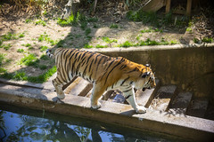 National Zoo 3 May 2018  (329) Tiger (smata2) Tags: tiger tigre smithsoniannationalzoo zoo zoosofnorthamerica itsazoooutthere animals zoocritters bigcats flickrbigcats