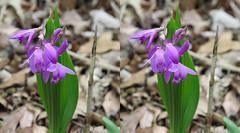 Purple (r_g_a) Tags: crosseye 3d