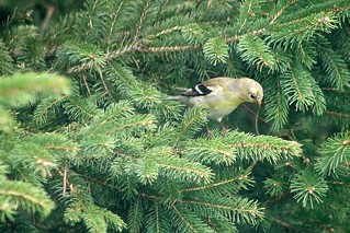 Female American Goldfinch On Spruce Tree Branch 001 - Spinus Tristis