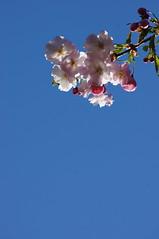 Sakura (Justin3.14) Tags: flower cherry blossom sakura
