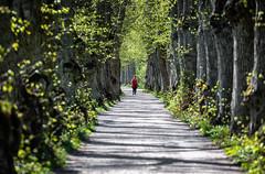 Uppsala, May 10, 2018 (Ulf Bodin) Tags: uppsala sverige canonef100400mmf4556lisiiusm träd canoneos5dsr sweden outdoor tree löpare running runner uppsalalän se