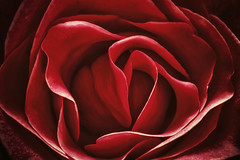 One Rose Extreme - Photo Art (Modkuse) Tags: rose flower photoart redflowers redrose nikon nikondslr nikond100 d100 105mmf28nikkormacro 105mm nikonaf105mmf28nikkormacro macro macrophotography macrolens macroflower nikonmacro
