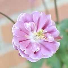 Aquilegia #2 (MJ Harbey) Tags: aquilegia grannysbonnet columbine plantae ranunculaceae flower garden nikon d3300 nikond3300
