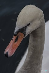 Monte Isola ... lago d'Iseo (capellini.chiara) Tags: nature natura elegance portrait animals monteisola iseo lake swan cigno