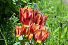Tulips (9) (John Carson RIP Steve) Tags: thegalaxy thegalaxystars thegalaxylevel2 rainbowofnature supersix photographyvision