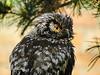 Sperbereule (Fotoamsel) Tags: eule natur sperbereule tiere vögel zookölnmai2018 köln nordrheinwestfalen deutschland