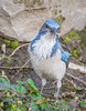 Nest Builder. (Omygodtom) Tags: wildlife bird portrait scrubjay nikon70300mmvrlens d7100 contrast 7dwf coth5 usgs urban meadow