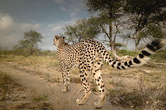 The tail (KevinBJensen) Tags: cheetah tail safari outdoors south africa back cat big closup wild wildlife kruger