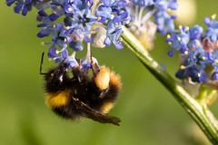 Butinage (clamar18) Tags: mérysurcher fleur jardin nature butiner bleu fleurs flower macro