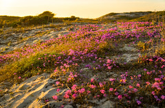 Dune Flowers at Asilomar State Beach (Thanks for 1.4 million views) Tags: kando asilomar beach sony