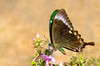Common Banded Peacock - Papilio crino (Ishmaanay) Tags: common banded peacock papilio crino