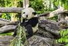 """The panda """"Fu Ban"""" at Zoo Schönbrunn (a7m2) Tags: tiergarten zoo schönbrunn vienna austria travel besucher tourismus fauna säugetier bär"""