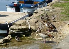 May 22nd, 2018 Egyptian geese (karenblakeman) Tags: caversham uk thames christchurchmeadow birds egyptiangeese alopochenaegyptiaca boat may 2018 2018pad reading berkshire