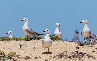 Gaivota de Audouin | Audouin's Gull | Gaviota de Audouin | Goéland d'Audouin (Larus audouinii)