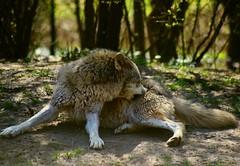 Lupo (alph@ wolf) Tags: lupo wolves wolf alphawolf animal natur naturphotography pentax photography photo pentaxk1 pentaxart predator germany green forest copyright signature