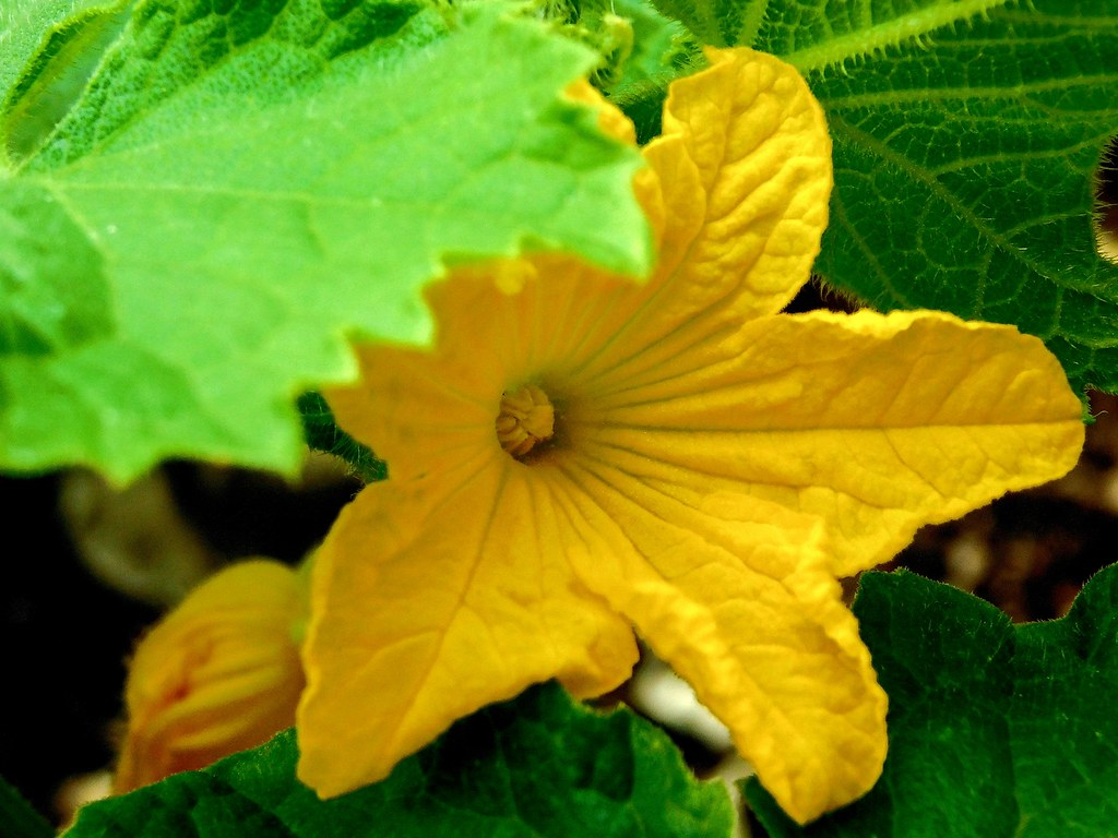 The Worlds Most Recently Posted Photos Of Cucumber And Flower