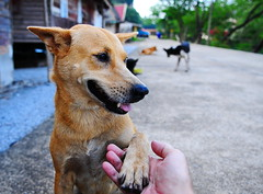 ,, Happy Dog ,, (Jon in Thailand) Tags: mama dogears dogeyes dognose jungle themonkeytemple dogpaw dogsmile smilingdog nikon d300 nikkor 175528 red blue green dogwhiskers hand fingers concreteroad dog dogtongue littledoglaughedstories