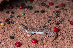 Eastern Beaked Gecko (Rhynchoedura ormsbyi) (Jari Cornelis) Tags: jari cornelis canon 700d 60mm macro herp herps herping herpetofauna natgeo ausgeo ngc qld eastern beaked gecko rhyncoedura ormsbyi reptile charters towers