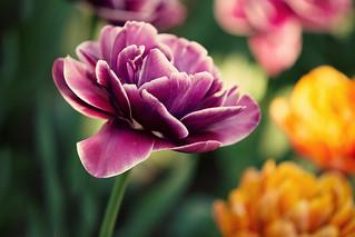 Festa dei Tulipani