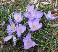 ** Les crocus ** (Impatience_1(retour progressif)) Tags: crocus fleur flower printemps spring m impatience supershot coth coth5 alittlebeauty sunrays5 abigfave fantasticnature fabuleuse