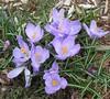 ** Les crocus ** (Impatience_1 (peu...ou moins présente...)) Tags: crocus fleur flower printemps spring m impatience supershot coth coth5 alittlebeauty sunrays5 abigfave fantasticnature fabuleuse