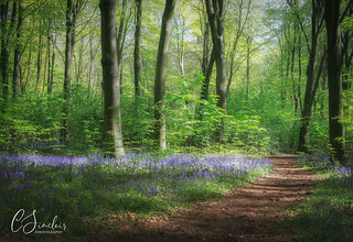Bluebell Walk (Explored)