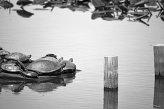turtles basking in the sun (pontla) Tags: turtles lake
