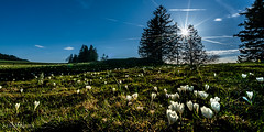 Crocus en contre-jour (Switzerland) (christian.rey) Tags: crocus jura alpage prairie printemps neuchâtel frühling spring sony alpha a7r2 a7rii 1635 panorama paysage landscape