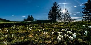 Crocus en contre-jour (Switzerland)