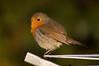 "Robin ""Erithacus rubecula"" (Kay Musk) Tags: robin erithacusrubecula bird wildlife wild nature nikond3200 gardenwildlife"
