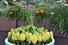 Haycinth (chooyutshing) Tags: flower hyacinth bulbousblooms tulipmaniafloraldisplay flowerdome gardensbythebay baysouth marinabay singapore