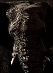 The Wisdom of Years (Vide Cor Meum Images) Tags: mac010665yahoocouk markcoleman markandrewcoleman videcormeumimages vide cor meum nikon nikkor28300 south africa african elephant mammal ivory mono portrait bw contrast safari game drive aquila reserve