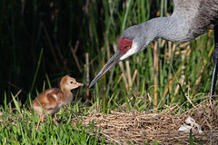 Happy Mother's Day! (PeterBrannon) Tags: bird crane florda florida gruscanadensis nature nest polkcounty sandhillcrane tallbird wildlife babybird babycrane colts