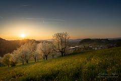 A7301576_s (AndiP66) Tags: sunset luzernerhinterland obstbäume fruittrees blüten blossoms altbüron grossdietwil kanton luzern canton lucerne schweiz switzerland sonnenuntergang sonne sun evening abend april frühling spring 2018 sony sonyalpha 7markiii 7iii 7m3 a7iii alpha ilce7m3 sigma sigma24105mmf4dghsmart sigma24105mm 24105mm art amount laea3 andreaspeters