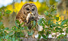 Barred Owl Hunting (agnish.dey) Tags: birding birdwatching bird birdsofprey baby owl bokeh tree sunlight duck duckling hunting kill naturallight nature naturephotograph nikon d500 animalplanet wildlife perched florida