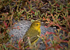 Yellow bird in Portulaca (jillrowlandwv) Tags: bird birds galapagos ecuador tourism tourist travel colorful blue yellow wildlife outdoors adventure