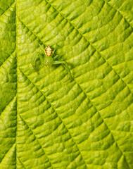 In plain sight (markhortonphotography) Tags: arachnid leaf surrey thomisidae wildlife sunlight thatmacroguy nature diaeadorsata hazel markhortonphotography green spider surreyheath macro invertebrate