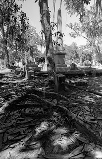 Exposed roots at Bonaventure Cemetery