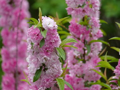 Double flowering almonds in my garden (lovesdahlias 1) Tags: shrubs flowers blossoms gardens nature spring newengland