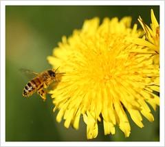 Im Anflug auf die Nektartankstelle (https://www.norbert-kaiser-foto.de/) Tags: natur nature sachsen saxony biene westlichehonigbiene apismellifera tier animal löwenzahn kuhblume pusteblume taraxacum blume flower