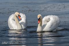 Muted love dance-4894 (George Vittman) Tags: bird swan white love mating dance courting wildlifephotography jav61photography jav61 nikonpassion