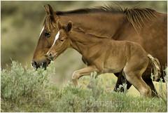 Ruby and Hera (Christian Hunold) Tags: wildhorse mustang feralhorse filly newborn foal northdakota christianhunold