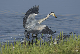 Heron - Attacked by a... Coot!