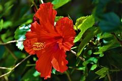 Red Hibiscus (thomasgorman1) Tags: nikon hibiscus closeup outdoors nature hawaii island pretty red colors
