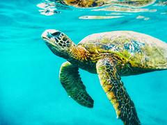 Underwater Friends (Thomas Hawk) Tags: america hawaii maui usa unitedstates unitedstatesofamerica wailea waileaelua seaturtle turtle underwater kihei us fav10 fav25 fav50