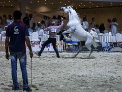 Arabia horse (! FOX) Tags: horse horses arabin arabian fox al5ain خيل عربي الخيل العربي مزاد مربط المعود الاصيلة الاصيله action